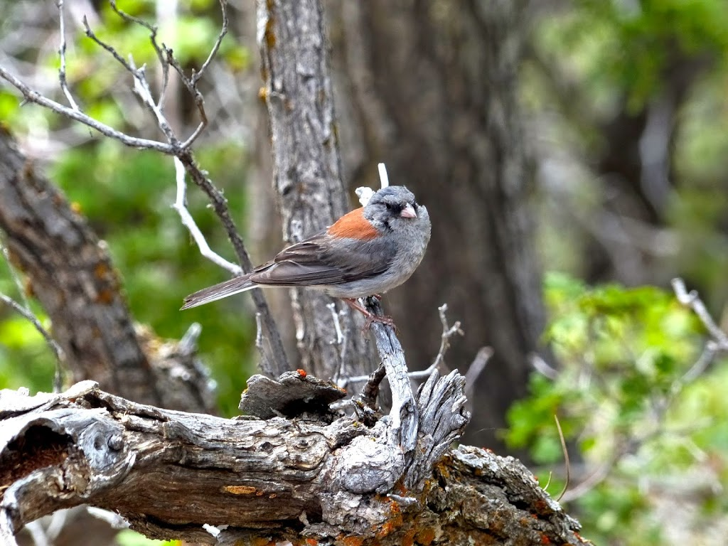 Small Bird at Grand Canyon (a Nuthatch?)
