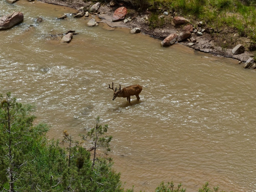 Mule Deer at Zion