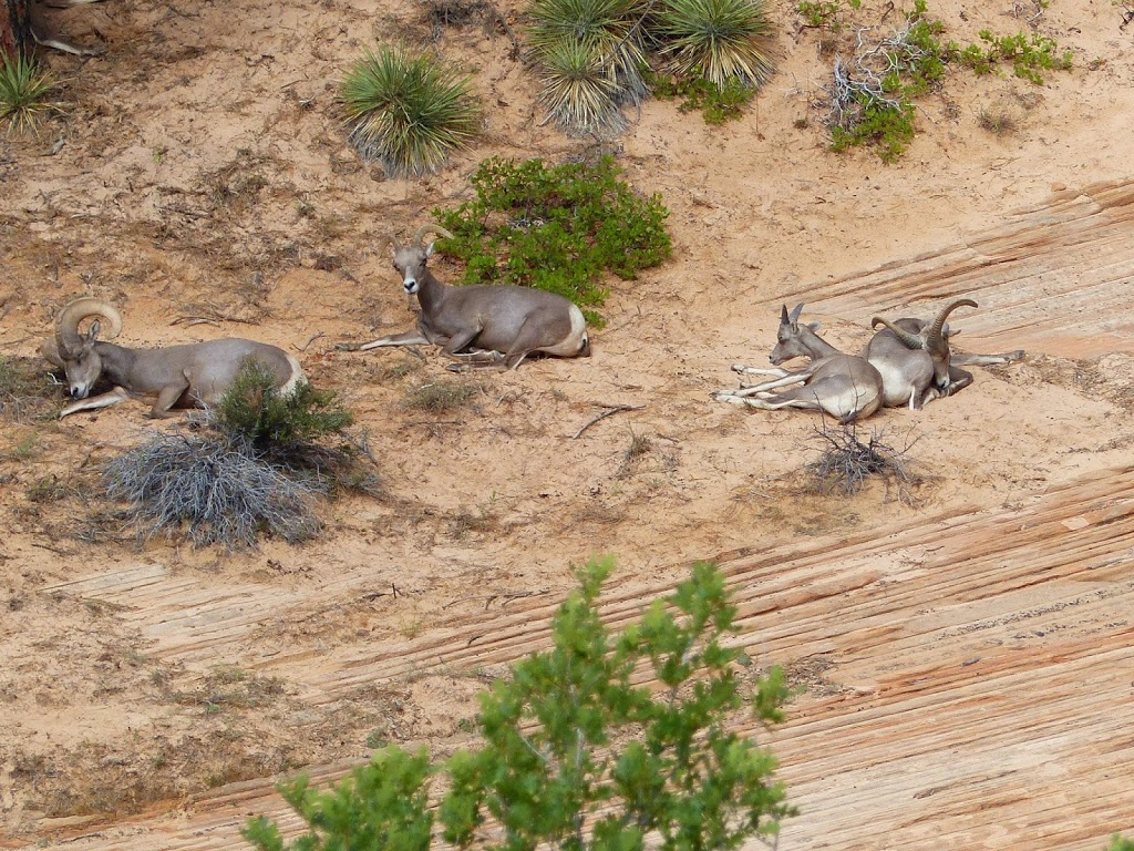 Desert Bighorn Sheep Near Zion
