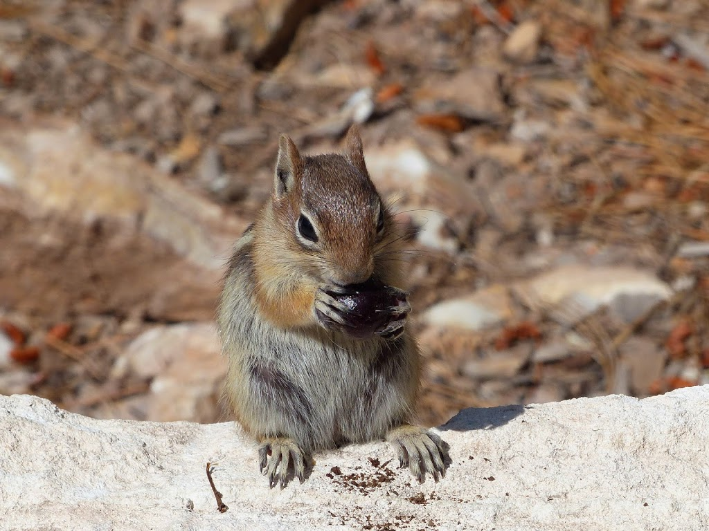 Chipmunk-Like Squirrel at Grand Canyon