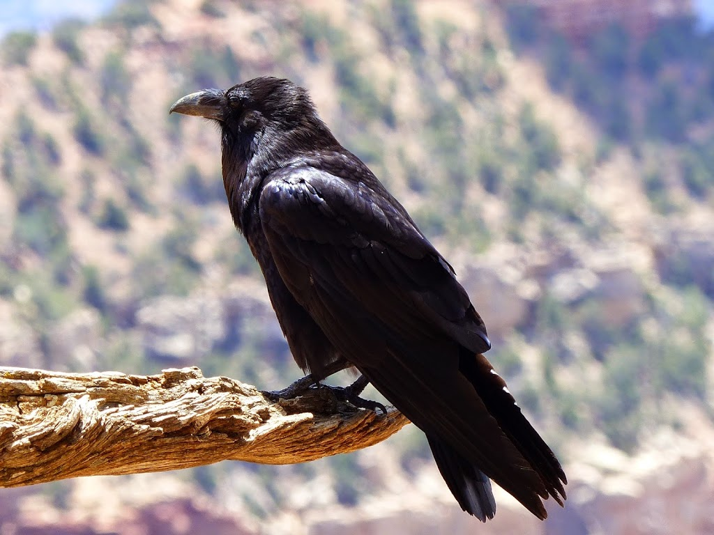 Raven at Grand Canyon