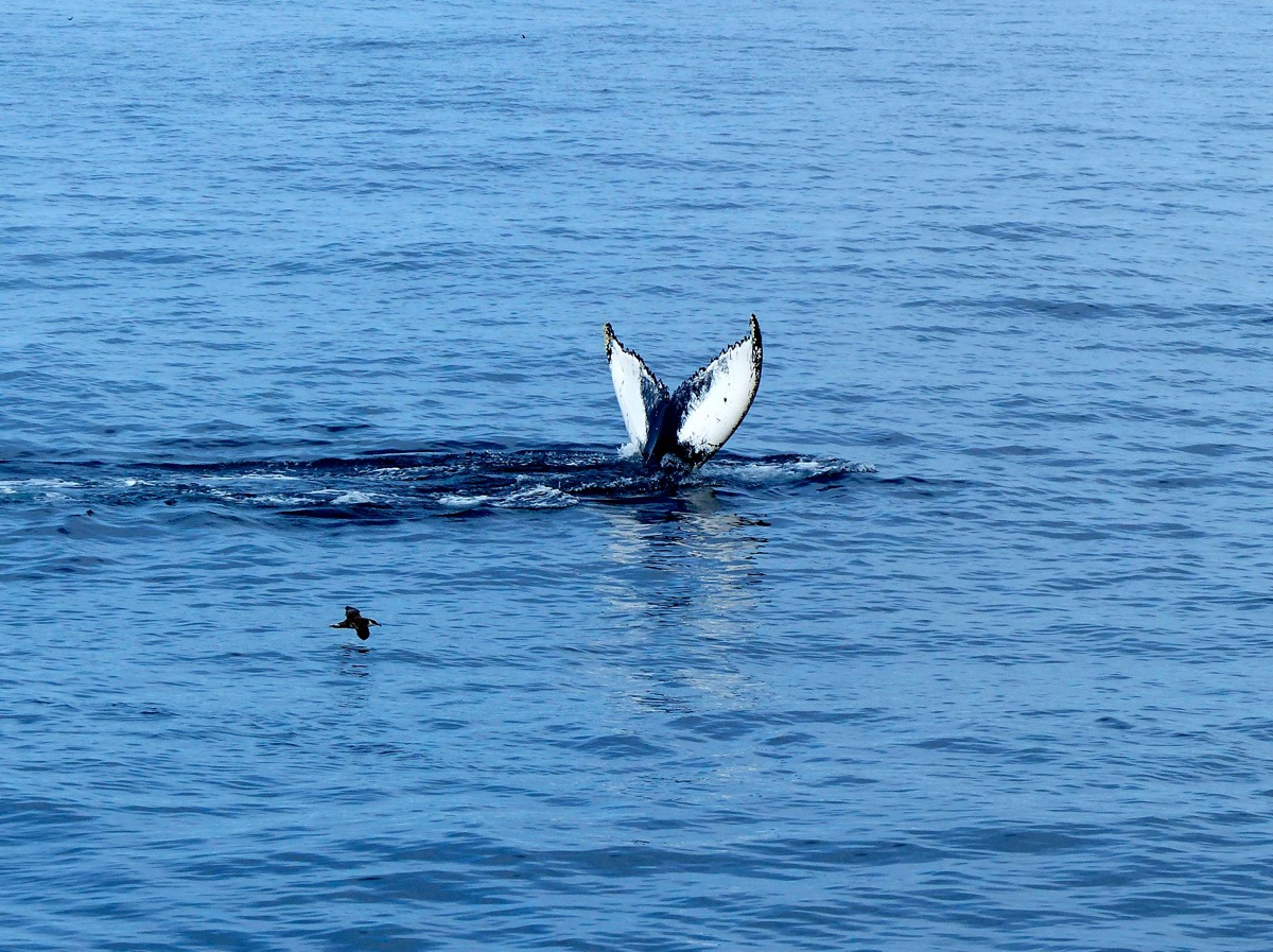 Whale Watching (gray fluke)